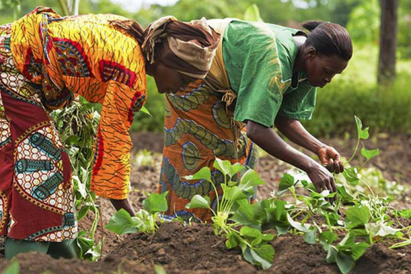 Smallholder farmers in northern Ghana to benefit from certified seeds